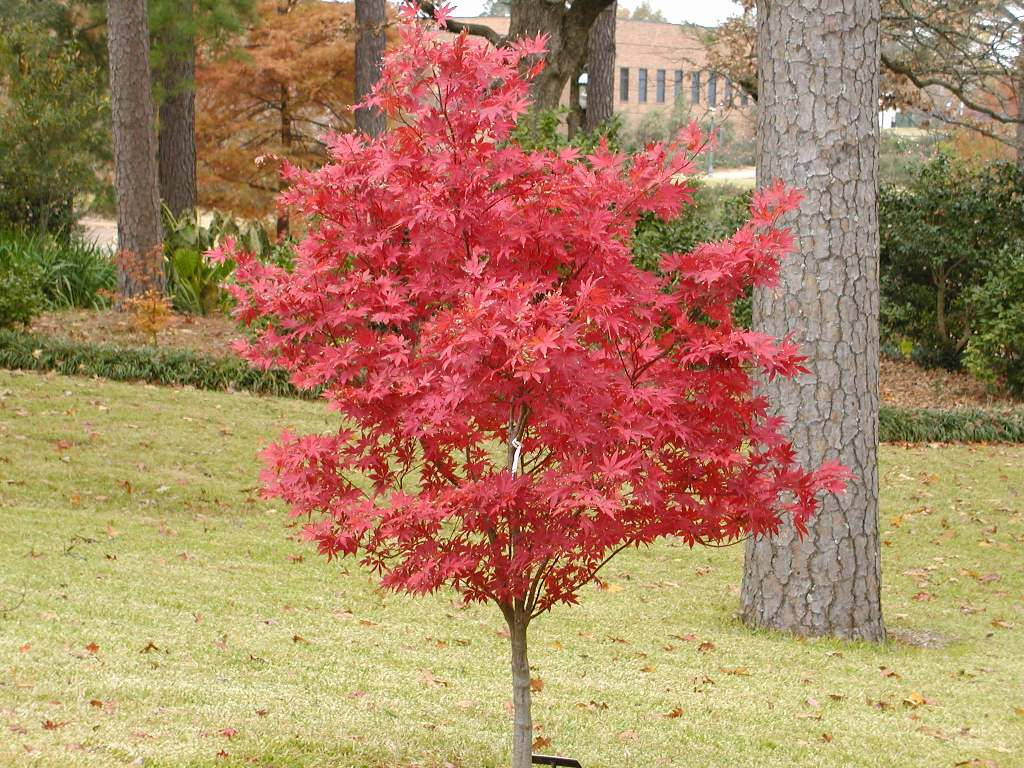 Meilleurs arbustes de jardin arbustes feuillage for Arbres decoratifs jardin