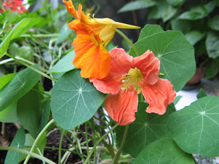 Gardening with kids,nasturtium,Sunflowers,stay in pots