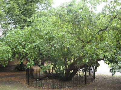 ���� ����� Mulberry tree ����� �����