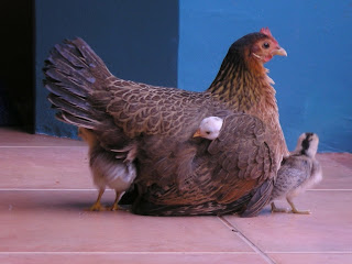 Conchita and her chicks, La Ceiba, Honduras