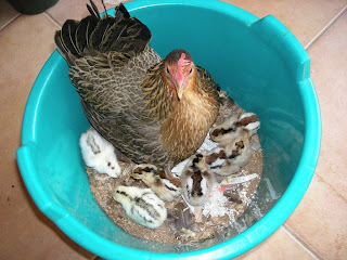 Conchita and baby chicks, La Ceiba,Honduras