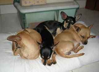 Chihuahua slumber party, La Ceiba, Honduras