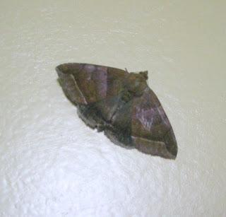 Moth, La Ceiba, Honduras