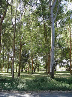 eucalyptus trees, El Porvenir, Honduras