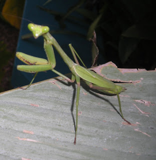 Green mantid, Honduras