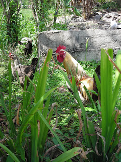 Chicken and rooster, Honduras