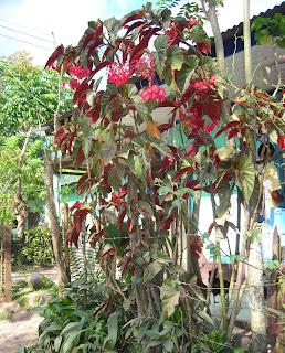 Begonia, Yaruca, Honduras