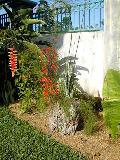 Russelia equisetiformis, coral or firecraker plant