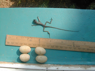 lizard eggs, Honduras