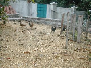 free range bantam chickens, Honduras