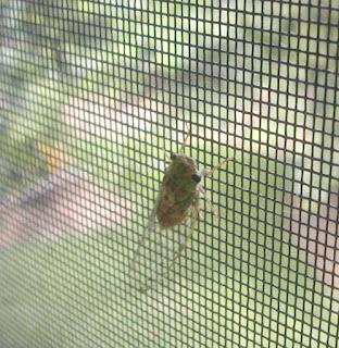 cicada, Honduras