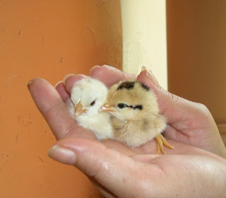baby chicks, La Ceiba, Honduras