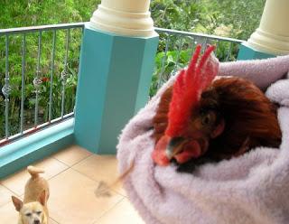bantam rooster, La Ceiba,Honduras