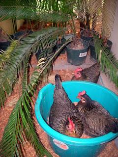 bantam hens, La Ceiba, Honduras