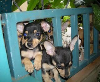 Honduran chihuahua pups