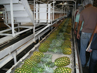 pineapples at the Dole plant