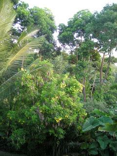 tall trees, La Ceiba, Honduras