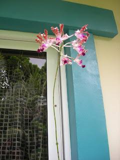 Orchid, Myrmecophila tibicinis, La Ceiba, Honduras