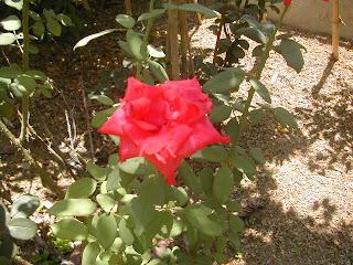 rose, La Ceiba, Honduras