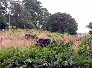 Cows, La Ceiba, Honduras