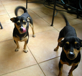 chihuahuas after eating yogurt, La Ceiba, Honduras