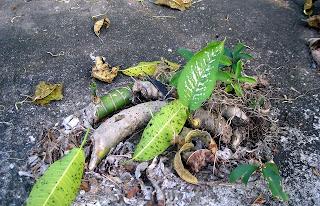 Dieffenbachia, La Ceiba, Honduras