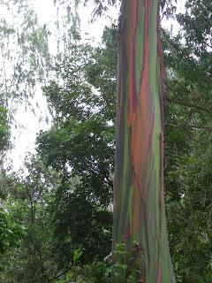 Eucalyptus trees in El Porvenir, Honduras