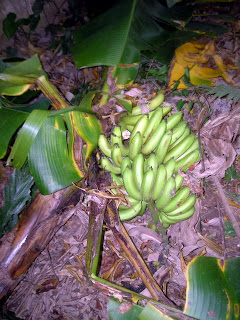 banana harvest, La Ceiba, Honduras