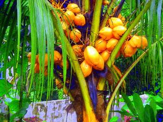 yellow coconuts, La Ceiba, Honduras