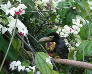 Collared Aracari Toucan (Pteroglossus torquatus)