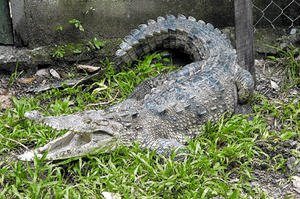 Juancho the crocodile, Honduras