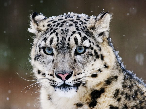 snow leopard pictures. original image Snow Leopards