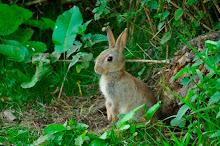 juvenile babbit