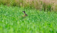 HARE IN HIDING