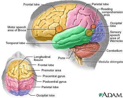 Neurons In Brain. nerve cells (neurons)