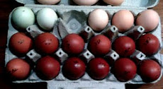 Marans eggs on Dec. 7 with Ameraucana and Wyandotte eggs