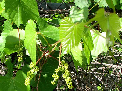 Native Plants with Red or Pink Flowers - Washington Native Plant