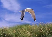 Gaivota sobrevoando um campo de trigo tendo o céu azul como fundo