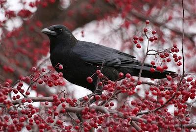 Pássaro negro pousado em arvore carregada de cerejas.