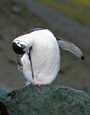 Pingüim fazendo pose de equilibrista