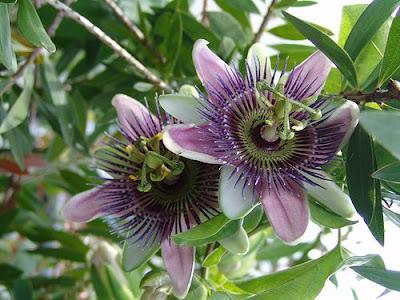 Flor Púrpura.