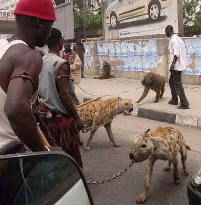 Hienas e babuínos acorrentados em tentativa de domesticação, na Nigéria.