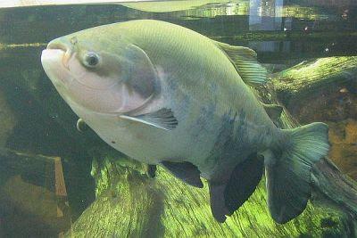 Um peixe Pacu Caranha (Piaractus mesopotamicus) normal, desses que se encontra no Pantanal do mato Grosso