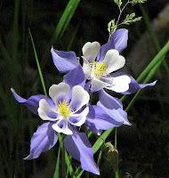 Flor americana: Columbine
