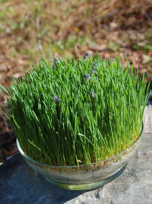 The wheatgrass grower lavender centerpiece