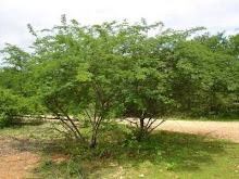Jurema_Árvore sagrada dos indígenas brasileiros.