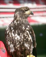 Fotografia da Vitória, águia mascote do Benfica