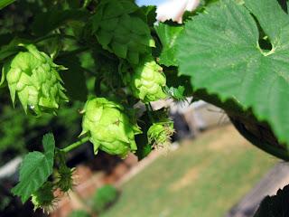 Cascade Hop Closeup