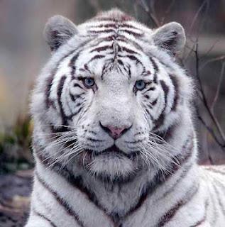 tigre blanc de face