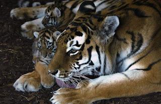 tigres sibériens